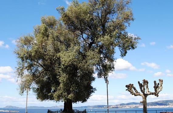 Árbol de Vigo